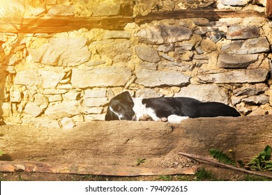 Cute black and white dog lying sleeping on a stone terrace in front of a rustic stone wall, low angle view with copy space and golden glow from the sun