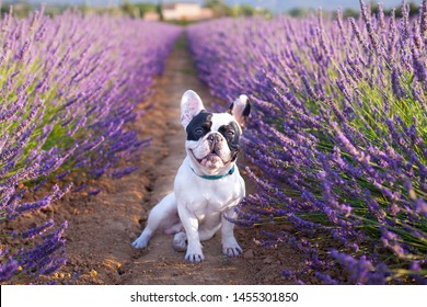 Cute black and white french bulldog sits and looks straight in the camera in the Lavender Fields in Provence, Luberon region, France
