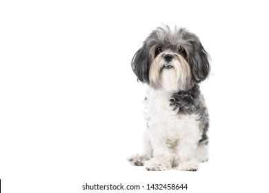 Cute, black white and grey Bichon Havanese dog sitting obedient and looking to the camera. Isolated on white background