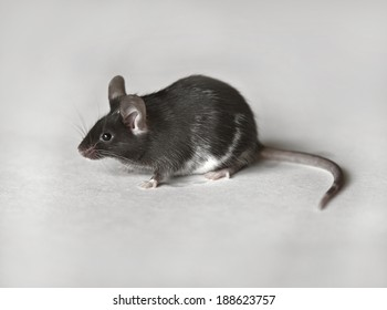 Cute black and white mouse