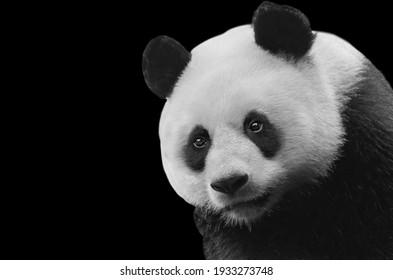 Cute Black And White Panda Closeup Face