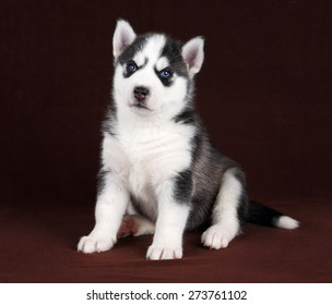 Cute black and white puppy with blue eyes