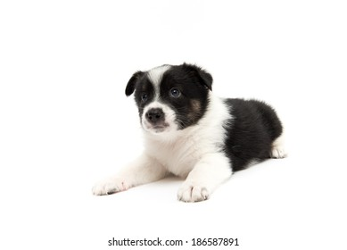Cute Black and White Puppy on White Background