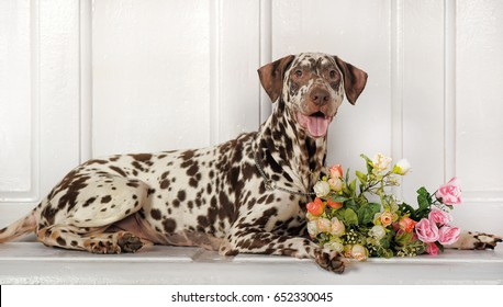 Cute black and white sitting dalmatian puppy dog facing the camera with a red rose in his mouth isolated on a white background
