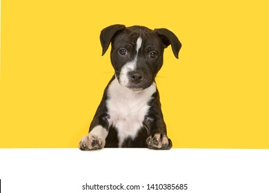 Cute black and white stafford terrier puppy looking at the camera standig on a white underground at a yellow background