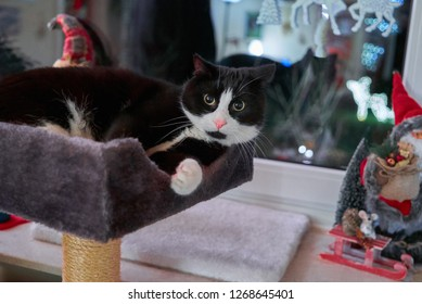 cute black and white tomcat with round face lies on a grey cat tree in front of a window, Christmas decoration can be seen in background
