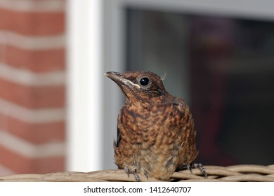 cute blackbird chick in the garden