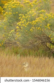 cute  black-tailed prairie dog standing and  eating in the grasslands near to pretty yellow rabbitbrush wildflowers in coyote ridge natural area near fort collins, colorado