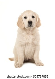 Cute blond golden retriever puppy sitting and facing the camera isolated on a white background
