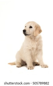 Cute blond golden retriever puppy sitting and looking to the left on a white background