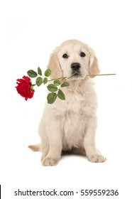 Cute blond golden retriever puppy sitting and facing the camera with a red rose in her mouth isolated on a white background