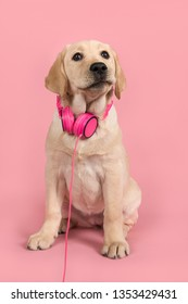 Cute blond labrador retriever with pink headphones on a pink background