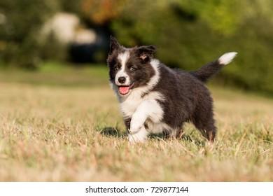 Cute blue border collie puppy running on green grass