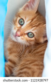 Cute blue eyed ginger kitten