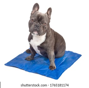 Cute blue french bulldog sitting on cool mat looking up into camera from side isolated on white background