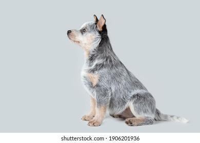 Cute blue heeler puppy sitting isolated on grey background. Australian cattle dog pet portrait