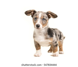 Cute  blue merle welsh corgi puppy with blue eyes and hanging ears facing the camera standing isolated on a white background