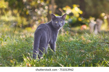 Cute blue russian cat outdoors in nature