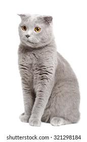 Cute blue Scottish Fold cat sitting isolated on white background