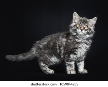 Cute blue tabby Maine Coon cat / kitten standing side ways isolated on black background looking at camera