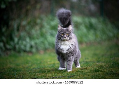 cute blue tabby white maine coon cat standing on grass looking at camera with fluffy tail high up looking like a scorpion