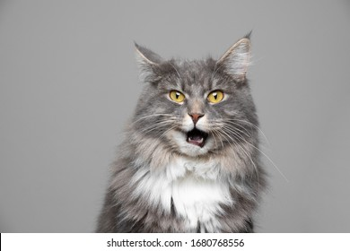 cute blue tabby white maine coon cat making funny face with open mouth in front of gray background with copy space looking at camera