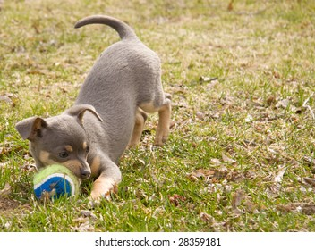 Cute Blue & Tan Chihuahua puppy playing with ball in his mouth
