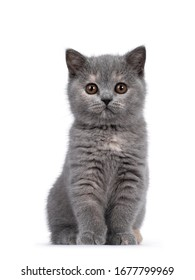 Cute blue tortie British Shorthair cat kitten, sitting proudly up facing front. Looking straight at camera with brown eyes. Isolated on white background.