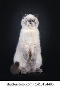 Cute blue tortie point Exotic Shorthair kitten, sitting on back paws. Looking at lens with blue eyes. Isolated on black background. Front paws in air like teddy bear.