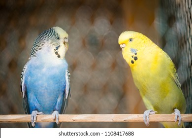 Cute blue and yellow parakeet in the huge cage, captive