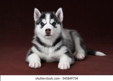 Cute blue-eyed Siberian Husky puppy