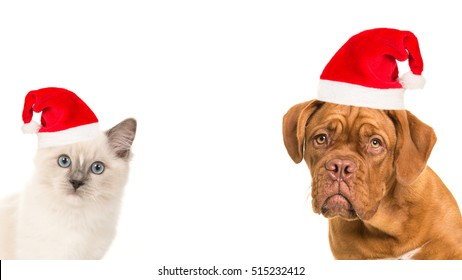 Cute bordeaux dog and rag doll baby cat portrait wearing santa's hat facing the camera on a white background