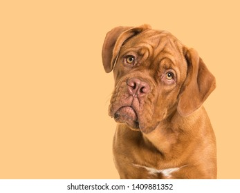 Cute bordeaux dogue portrait facing the camera on a soft orange background