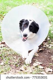 Cute border collie in a cone