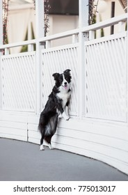 cute border collie dog