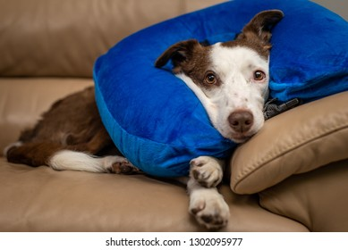 Cute Border Collie dog on a couch, wearing blue inflatable collar