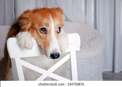 cute border collie dog portrait in studio