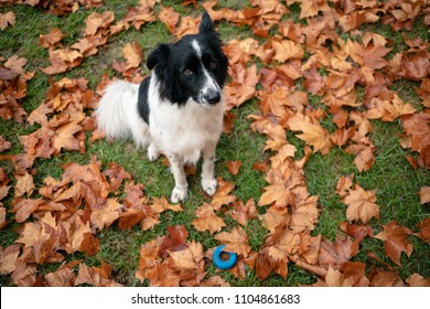 Cute border collie dog sitting with blue toy among autumn leaves.