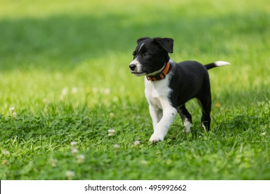 Cute Border Collie puppy in the beautiful green lawn. Playing outdoors, lovely smart purebred puppy.