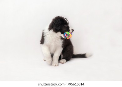 cute border collie puppy on white background sitting with ball