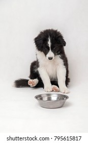 cute border collie puppy on white background sitting with an empty bowl