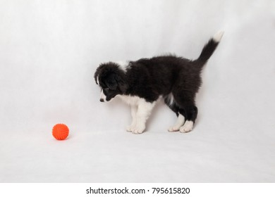 cute border collie puppy on white background with ball