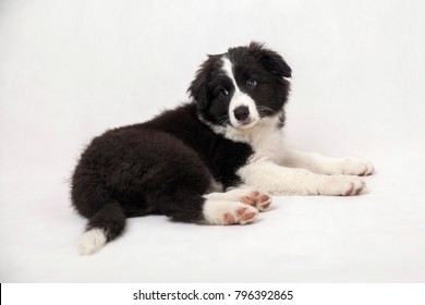 cute border collie puppy on white background lying