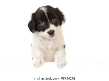 Cute border collie puppy with its paws on a message card