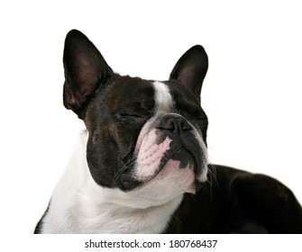 a cute boston terrier with his eyes closed