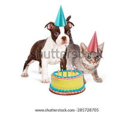 Cute Boston Terrier Puppy And Little Kitten Standing Together Wearing Blue Pink Party Hats With A Birthday Cake Lit Candles In Front Of Them