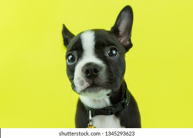 Cute boston terrier puppy looking to the camera isolated in a lime green background