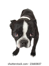 A cute Boston Terrier puppy looking at you.