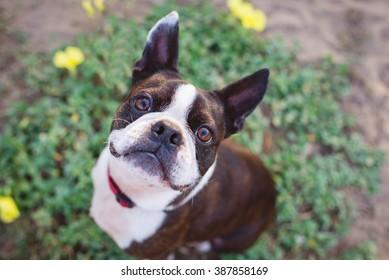 Cute Boston Terrier smiling up at camera