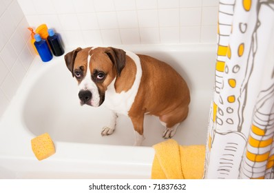 Cute Boxer Dog Sitting in Bathtub Waiting to be Washed